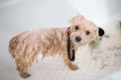 dog with wet fur having a bath in Merced CA