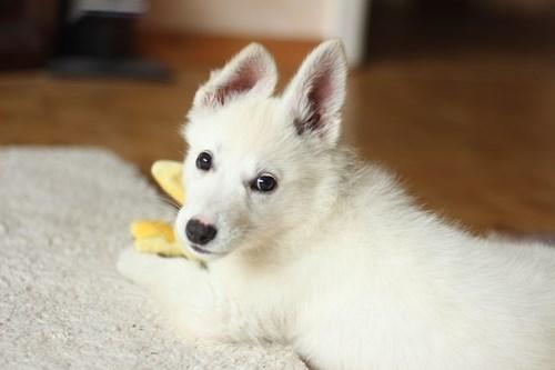 white dog relaxing on white carpet in Merced CA